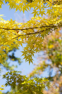 Vivid Fall Colors Photograph - Autumnal Coral Bark Maple Leaves by Tim Gainey