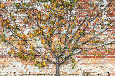Pear Tree Photograph - Autumnal Espalier Fruit Tree  by Tim Gainey