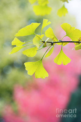 Photograph - Autumnal Ginkgo Biloba Tremonia Leaves by Tim Gainey