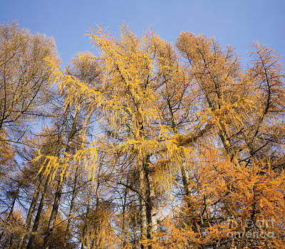 Photograph - Autumnal Larch Trees by Tim Gainey