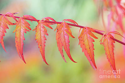 Photograph - Autumnal Sumac Red Autumn Lace Leaves by Tim Gainey