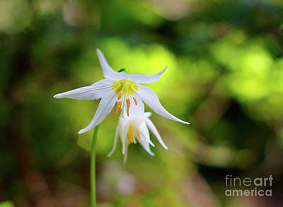 Photograph - Avalanch Lilly by Bruce Block