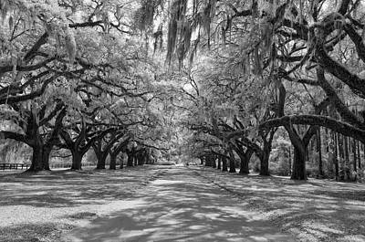 Photograph - Avenue Of Oaks by Cathie Crow