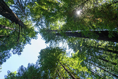 Avenue Of The Giants Redwood Trees California Dsc5460 Art Print