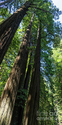 Photograph - Avenue Of The Giants Redwood Trees California Dsc5466 Panorama by Wingsdomain Art and Photography