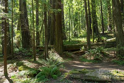 Avenue Of The Giants Redwood Trees California Dsc5467 Art Print