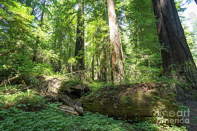Avenue Of The Giants Redwood Trees California Dsc5475 Art Print