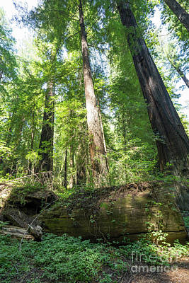 Avenue Of The Giants Redwood Trees California Dsc5476 Art Print