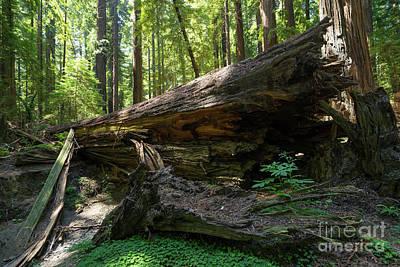 Avenue Of The Giants Redwood Trees California Dsc5527 Art Print
