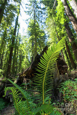 Avenue Of The Giants Redwood Trees California Dsc5532 Art Print