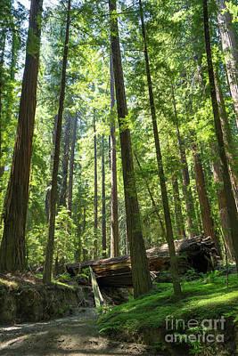 Avenue Of The Giants Redwood Trees California Dsc5533 Art Print