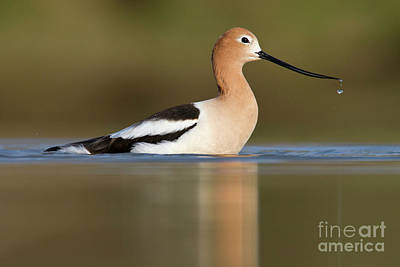 Photograph - Avocet Cooling Off by Bryan Keil