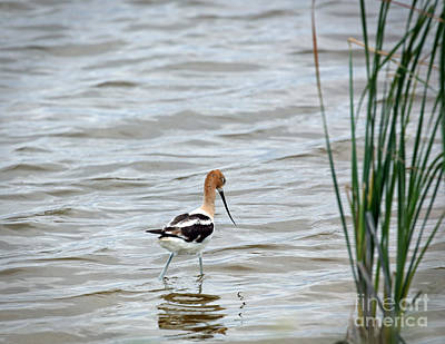 Photograph - Avocet  by Betty Morgan