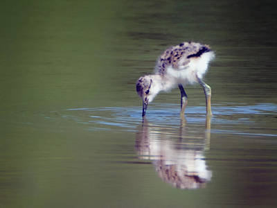 Photograph - Avocet Chick 9185-050318-1cr by Tam Ryan