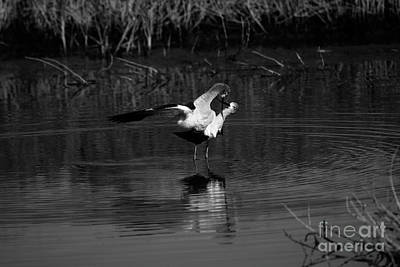 Photograph - Avocet Courtship Dance by John F Tsumas