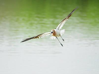 Photograph - Avocet In Flight by Tam Ryan