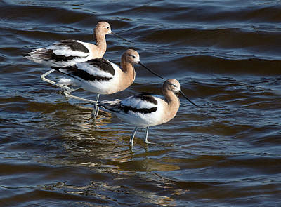 Photograph - Avocet Trio by Art Cole