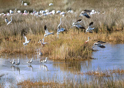 Photograph - Avocets Adieu by John M Bailey