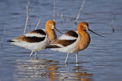 Photograph - Avocets by Craig Strand