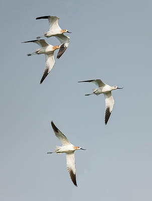 Photograph - Avocets In Flight by Loree Johnson