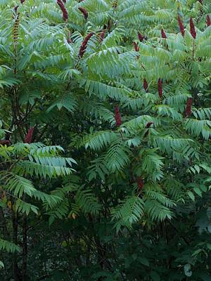 Photograph - Awaiting The Sumac by Guy Ricketts