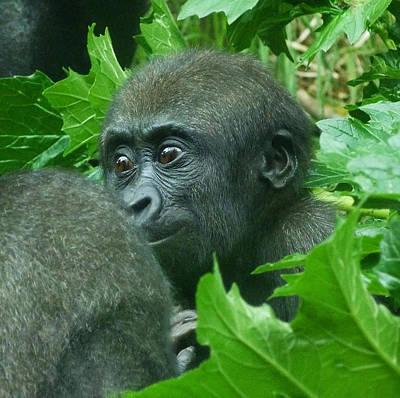Photograph - Awakening Baby Western Lowland Gorilla by Margaret Saheed