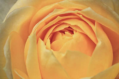 Awakening Yellow Bare Root Rose Art Print