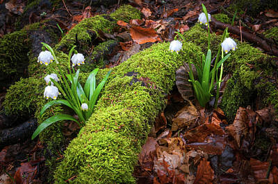 Photograph - Awaking Nature. Snowdrops Flowers by Jenny Rainbow