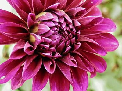 Photograph - Awesome Dahlia by VLee Watson