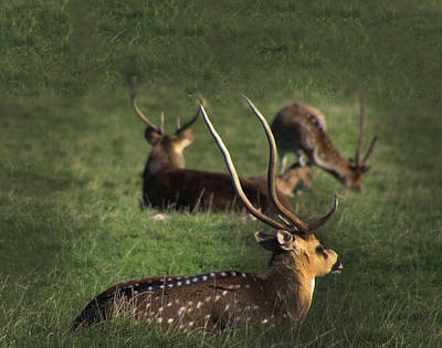 Photograph - Long Horn Chital Deer  by Doc Braham