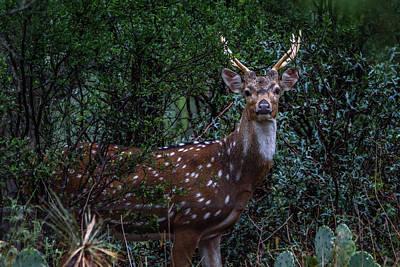 Photograph - Axis Deer - Spotted Deer - Chital by Debra Martz