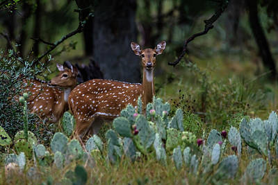 Photograph - Axis Deer - Two Does by Debra Martz