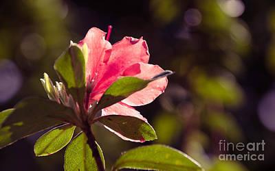 Photograph - Azalea 2 by Andrea Anderegg