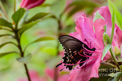 Photograph - Azalea And Butterfly by Donna Brown