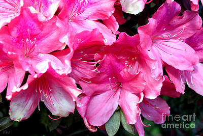Photograph - Azalea Beauty by Kathy White