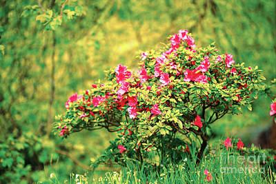 Furnas Photograph - Azalea Blooming by Gaspar Avila
