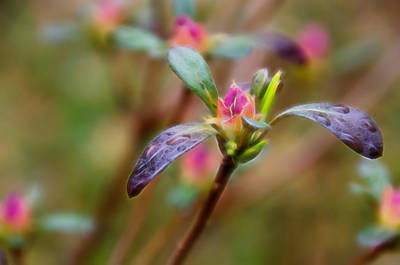 Photograph - Azalea Bud Energy by Beth Sawickie