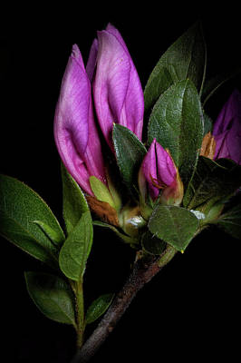 Azalea Buds Art Print by Richard Rizzo