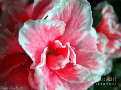 Photograph - Azalea Close-up by Gena Weiser