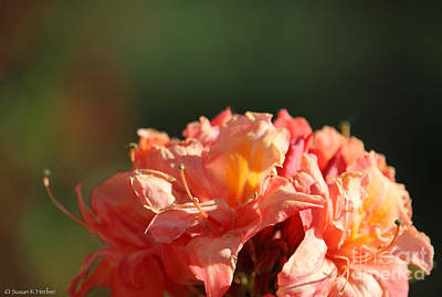 Photograph - Azalea Dome by Susan Herber