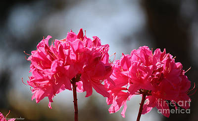 Photograph - Azalea Doubles by Susan Herber