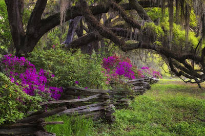 Photograph - Azalea Fence Under Giant Oaks by Ken Barrett