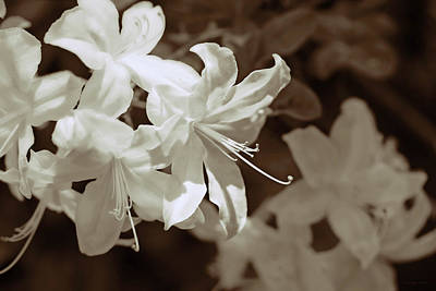 Photograph - Azalea Flowers In Sepia Brown by Jennie Marie Schell