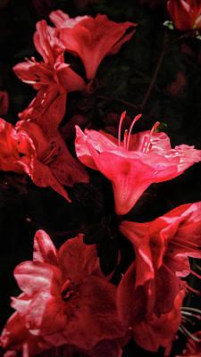 Photograph - Azalea In The Spotlight by Jim Moore