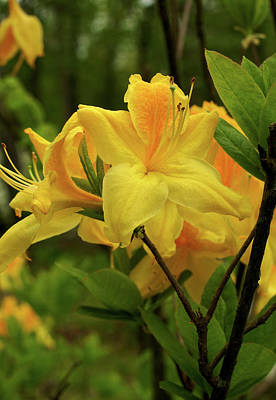 Photograph - Azalea by Jane Eleanor Nicholas