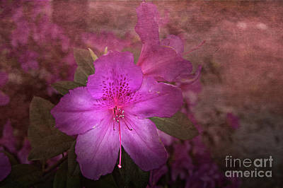 Photograph - Azalea by Judy Hall-Folde
