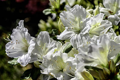Photograph - Azalea by Lisa and Norman  Hall
