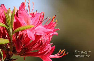 Photograph - Azalea Pointers by Susan Herber