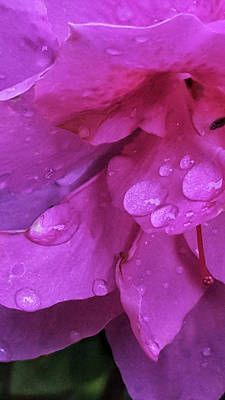 Photograph - Azalea Rain Drops by E Karl Braun