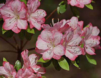 Photograph - Azalea by Sandy Keeton